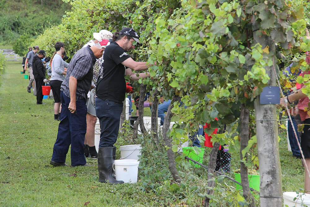 O'Reilly's Canungra Valley Vineyards: Summer Insights - IMG 2667