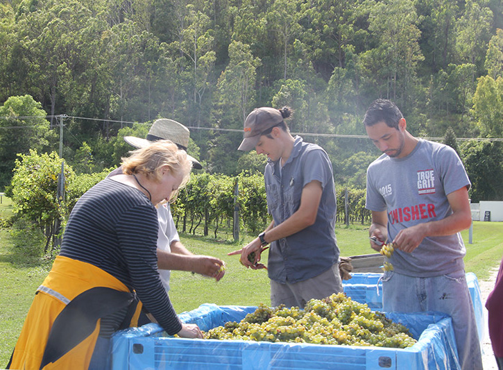 O'Reilly's Canungra Valley Vineyards: Summer Insights - IMG 2682