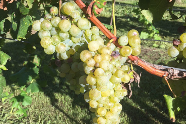 Semillon-grapes